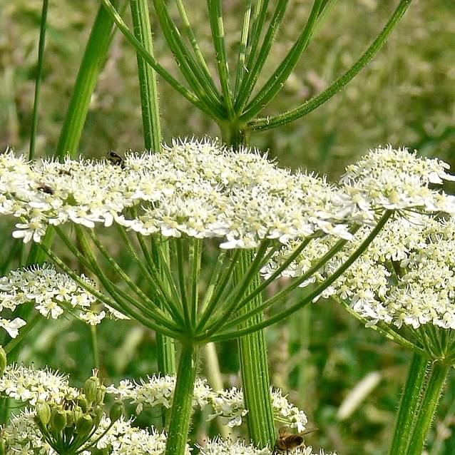 BEWARE: Hogweed causes terrible skin reactions and blindness!