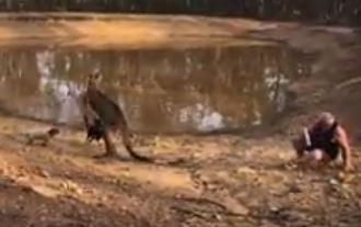 Guy gets kicked by Kangaroo