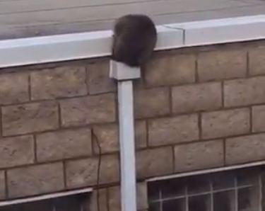 How did that raccoon fit into that pipe?