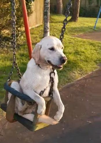 Dog loves to get pushed on the swing