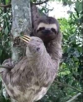 Did This Sloth Wave Back at the Guy Who Rescued It?