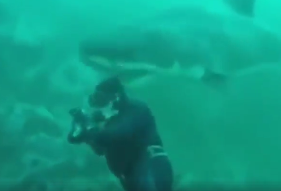 Diver Gets WAY Too Close with Great White Shark
