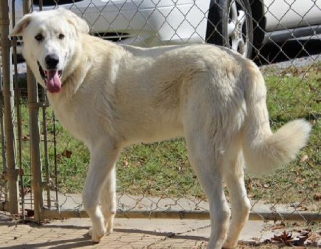 pet of the week barkley the great pyrenees shepherd mix dog photos