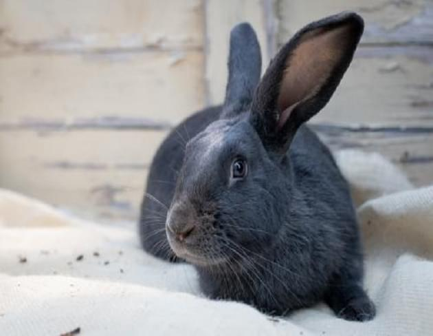 Pet of the Week: Bradley the Rabbit [PHOTOS]