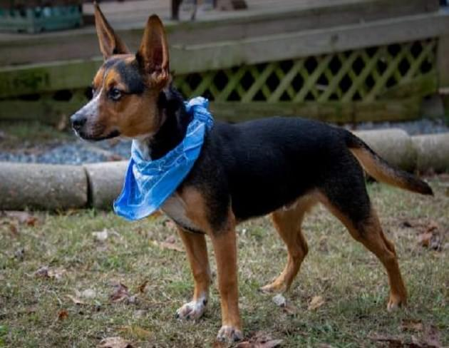Pet of the Week: Manny the Blue Heeler/Chihuahua Mix Dog [PHOTOS]