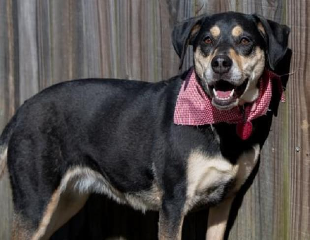 Pet of the Week: Gracie the Shepherd/Lab Mix Dog [PHOTOS]