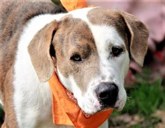 Pet of the Week: Chase the Basset/Pit Mix Dog [PHOTOS]