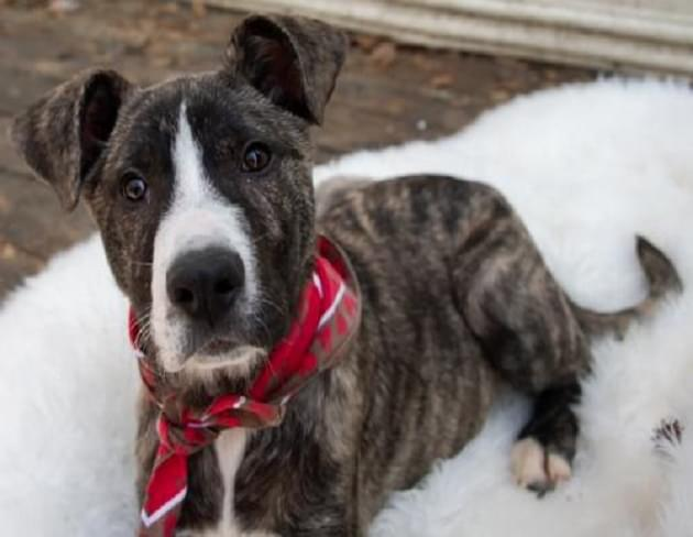 Pet of the Week: Piggy the Shepherd/Pyrenees/Pit Mix Dog [PHOTOS]