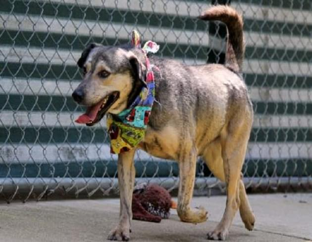Pet of the Week: Dobbie the Shepherd/Lab Mix Dog [PHOTOS]