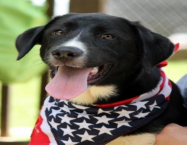 Pet of the Week: Freedom the Labrador Retriever Mix Dog [PHOTOS]