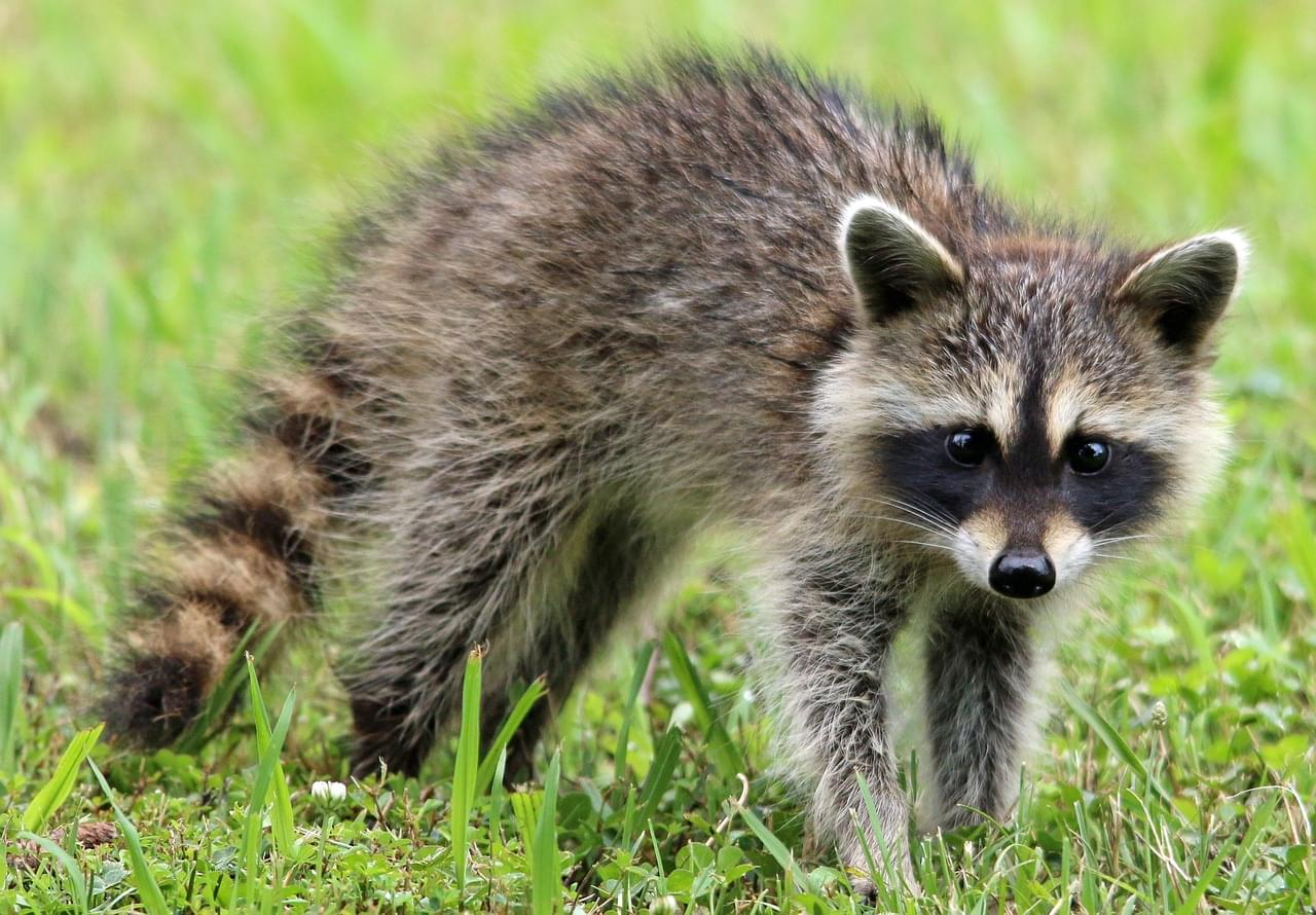 Raccoon Takes Ride On Tennessee Teen's Windshield