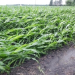 Corn Bouncing Back Following Sunday Storms