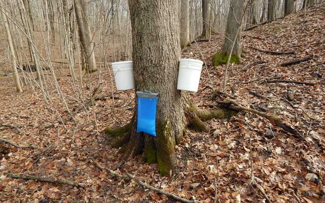 Forest Glen Hosts Maple Syrup Lessons