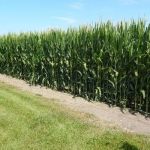 Area Crops Advancing After Late Start